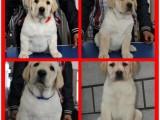 佛山狗场出售多个宠物品种 拉布拉多犬 品质好纯血统健康签协议