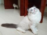 布偶猫双色母