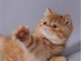 湖南张家界纯白加菲猫多少钱一只