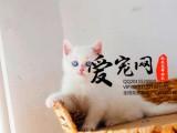 上海爱宠网品牌猫舍 多只短毛猫挑选 签协议的保证