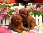 武汉本地上门看狗 价可优惠 泰迪熊犬 终身保障 完美售后