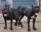广西卡斯罗犬价格 卡斯罗犬图片价格 卡斯罗犬多少钱一只