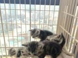 CAA注册猫舍【美短虎斑】出窝了,一共9只哦!