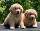 广州去哪里买狗好 广州金毛犬多少钱 金毛犬价格