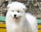 养不死才是王道 名宠基地直销萨摩耶等幼犬 保健康