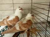 哪里有卖燕子观赏鸽的呢