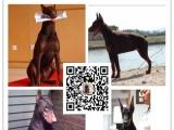 出售纯种德系、美系杜宾 专业繁殖犬舍出售 品质保证