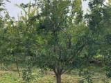 山西造型景观石榴树 10公分精品石榴树