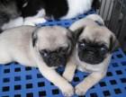 南京犬舍实体店出售 巴哥幼犬 质保三个月送用品签协议