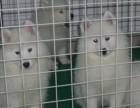 深圳那里有银狐犬卖 深圳银狐犬价格 深圳银狐犬多少钱
