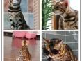 **专业孟加拉猫繁殖基地 品质好双血统包健康