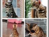 专业孟加拉猫繁殖基地 品质好双血统包健康