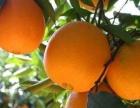 批发、代销全国各地柑橘、脐橙