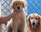 狗场自家繁殖出售多种高端宠物狗 疫苗做好健康有保障可送货上门