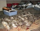 养殖场灭鼠,农村灭鼠,果园灭鼠,较灭鼠药,灭绝全部的老鼠