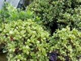 低价出售自家种植的兰花(幽兰)