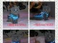 猫舍出售蓝猫 渐层 蓝白价格优惠 包健康 签协议
