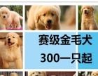 狗场直销特价出售金毛 比格 巴哥、罗威纳、喜乐蒂、西施犬等