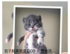 家庭猫舍小朗名猫馆出售中的美短英短折耳猫实拍照片