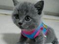 可爱蓝猫出售
