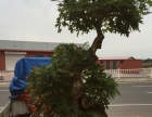 枫树盆景。百年老树。已经养了18年了。枝片成型。求有缘人
