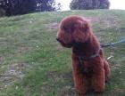 辽源哪里有卖巨贵犬 纯种巨贵多少钱 红色巨型贵宾