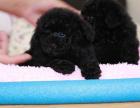 中国专业繁殖双血统泰迪犬犬舍 可以上门挑选