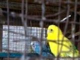 出售玩赏鸟价格50元母鸟带幼鸟免费送笼具和孵化箱