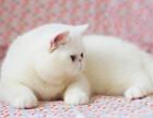 纯种宠物猫英短美短猫均有