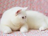 江苏苏州双血统加菲猫到手价格