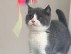 英国极品正八字蓝白小猫