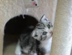 纯种折耳猫咪出售 渐层折耳 蓝猫折耳 品质保证 包