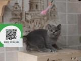 南通在哪里卖健康纯种宠物猫 南通哪里出售蓝猫