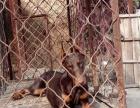 4个月的杜宾犬2500元(公母均有)