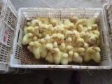鹅苗批发,河南鹅苗孵化基地,鹅苗价格优惠,大品种鹅苗供应