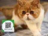 深圳哪里有卖加菲猫 深圳出售加菲猫 深圳加菲猫买卖