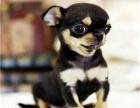 吉娃娃犬 我们更专业 欢迎挑选来基地挑选