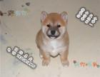 家养纯种柴犬便宜出售了 喜欢的可以加我详聊