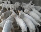 低价出售萨能奶山羊、崂山奶山羊免费运输 养殖场
