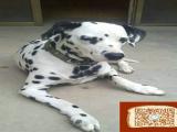 大麦町成年多重 哪里有出售纯种斑点狗