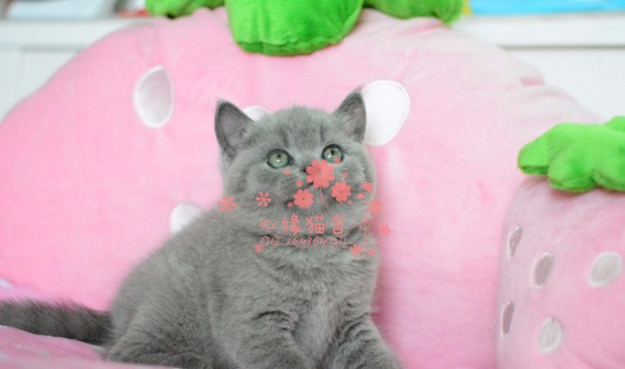 兰州哪里有正规宠物店买卖蓝猫 兰州较便宜蓝猫多少钱