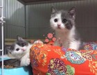兰州宠物 兰州哪里的蓝猫较便宜 纯种蓝猫一般卖多少钱一只