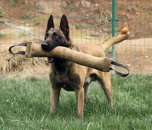 纯种马犬多少钱 哪里有卖马犬的
