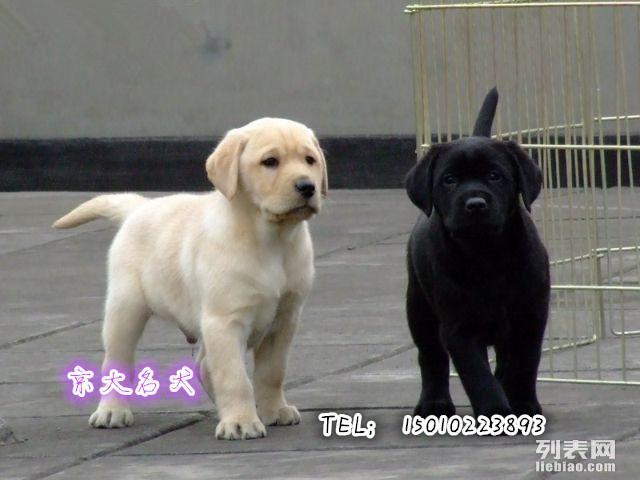 纯种拉布拉多犬,赛级拉不拉多犬,终身包品质