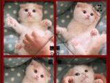 CFA专业打造顶级折耳猫幼猫专业品质签订质保