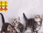漂亮银虎斑花纹美短幼猫找新家公母都有