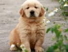小金毛宝宝 随时看狗 多窝选择 疫苗齐全