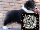 苏格兰牧羊犬俱乐部 苏牧幼犬多少钱一只 苏牧图片