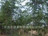 山东白蜡树基地 供应小叶白蜡树 速生白蜡树 批发白蜡树苗