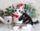 猫舍繁育美国短毛猫 美短纹路清晰 美短加白起司幼猫 全国包邮
